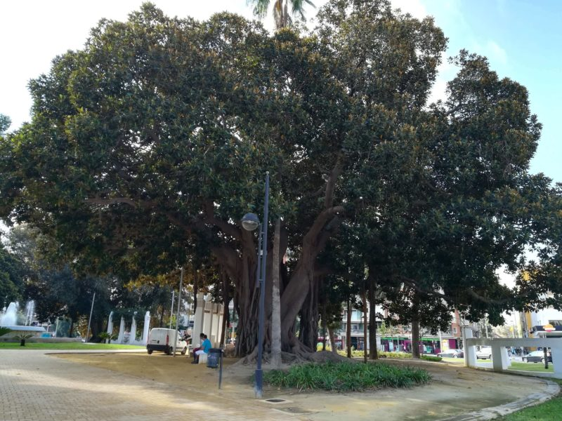 Big trees in Alicante